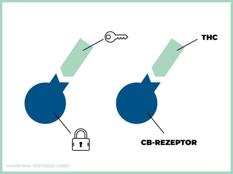 Erklär Grafik CB Rezeptoren - Endocannabinoid-System