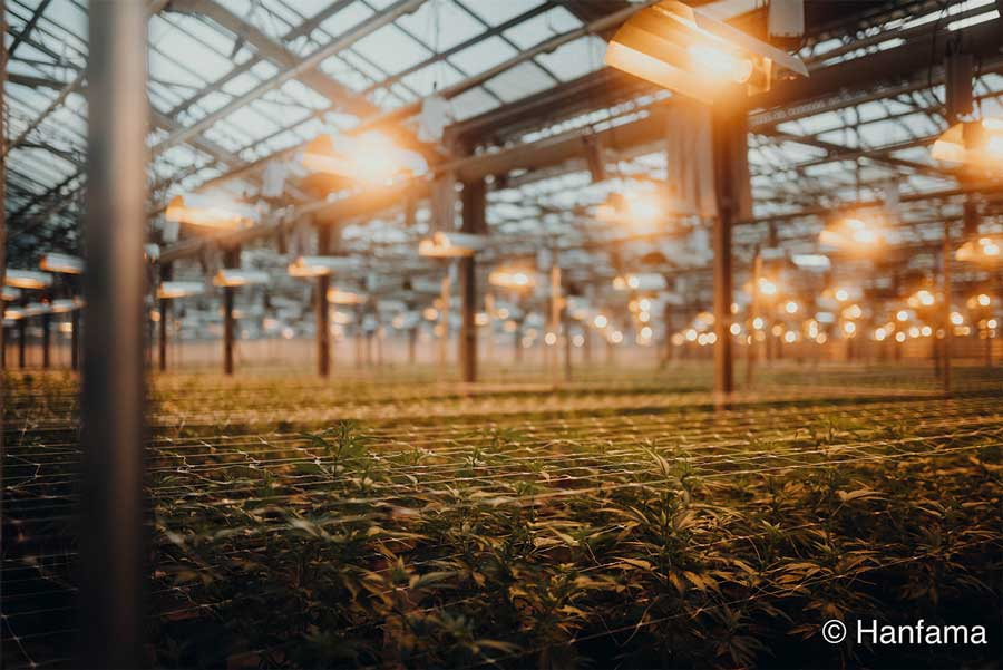 Hanfpflanzen von Hanfama im Glashaus