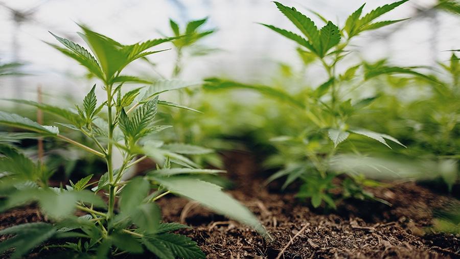 grüne Hanfpflanzen wachsen bei Hanfama aus der Erde